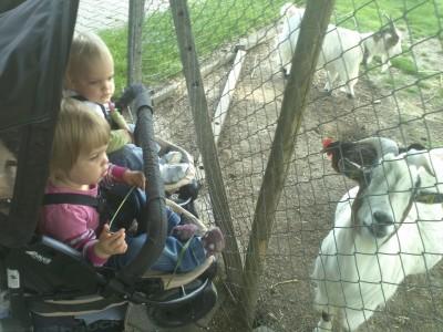 sztárfotó kedvenc kecskénkről etetés közben